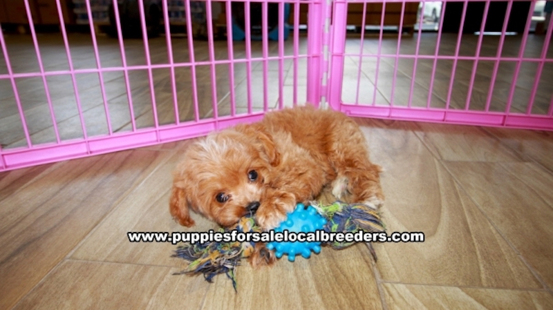 Cavapoo Puppies for sale in Gwinnett County Ga (23)