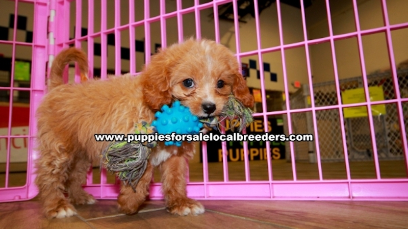 Red Cavapoo Puppies For Sale In Georgia, Local Breeders Near Atlanta, Ga