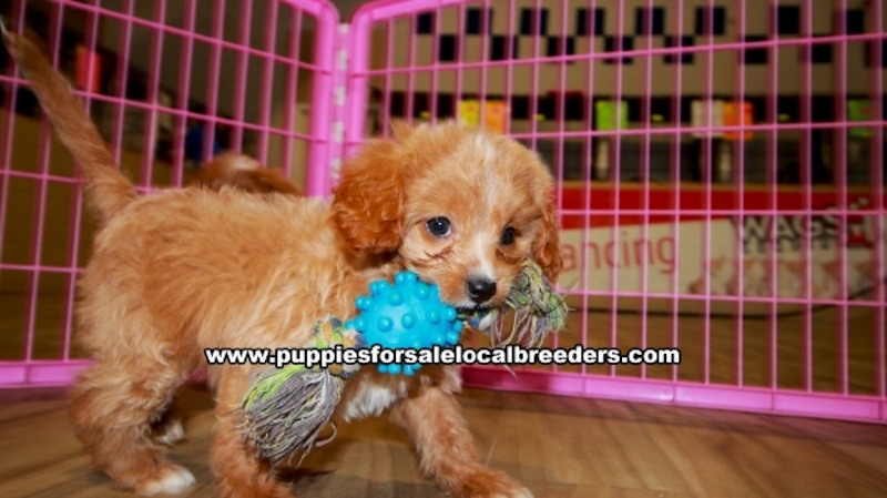 Cavapoo Puppies for sale in Gwinnett County Ga (5)