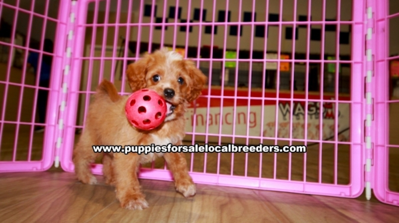 Cavapoo Puppies for sale in Gwinnett County Ga (6)
