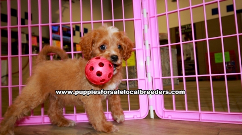 Cavapoo Puppies for sale in Gwinnett County Ga (9)