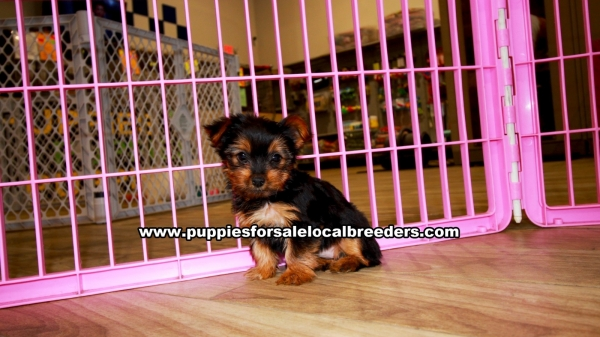 Miniature Yorkshire Terrier, Yorkie, Puppies For Sale In Georgia, Local Breeders Near Atlanta, Ga