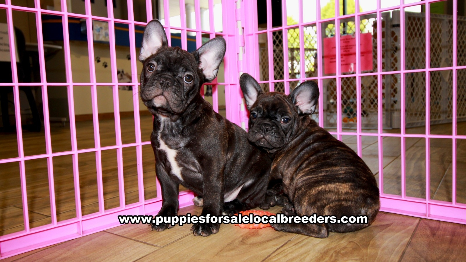 Chubby French Bulldog, Frenchie, Puppies For Sale In Georgia, Local Breeders Near Atlanta, Ga