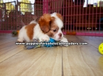 Pek A Tzu Puppies for sale in Georgia Ga (2)