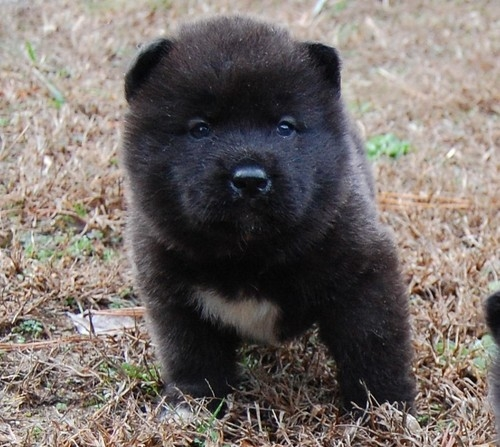Akita puppies for sale near Charlotte, Nc