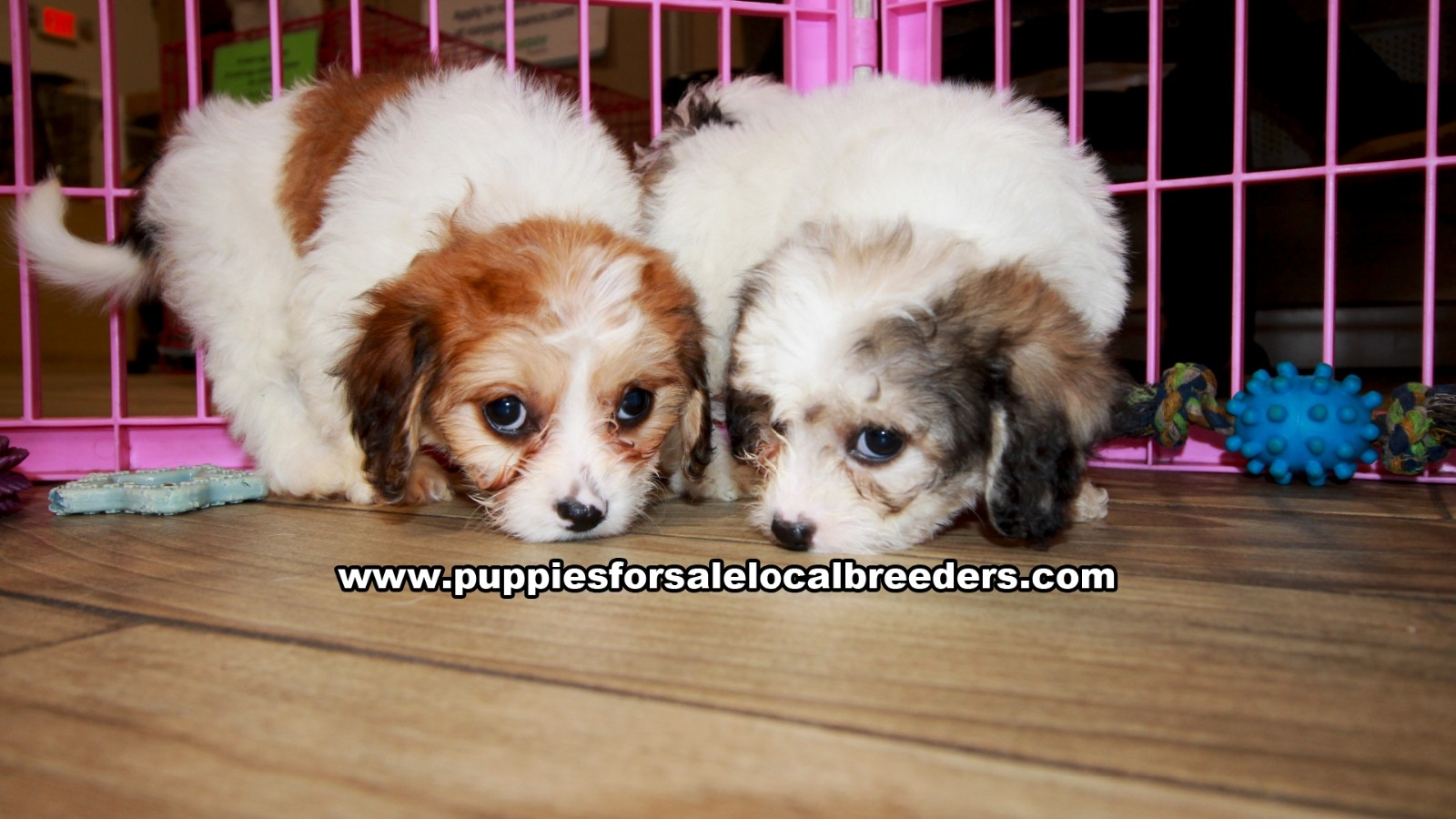 Cavachon, Puppies For Sale In Georgia, Local Breeders, Near Atlanta, Ga