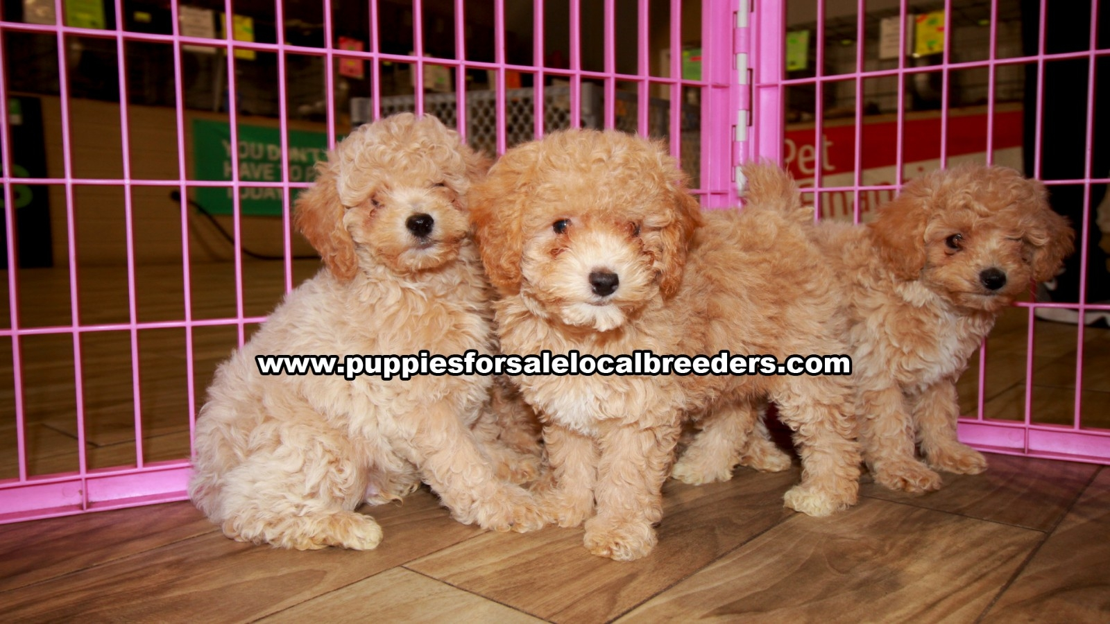 Toy Poodle, Puppies For Sale In Georgia, Local Breeders, Near Atlanta, Ga