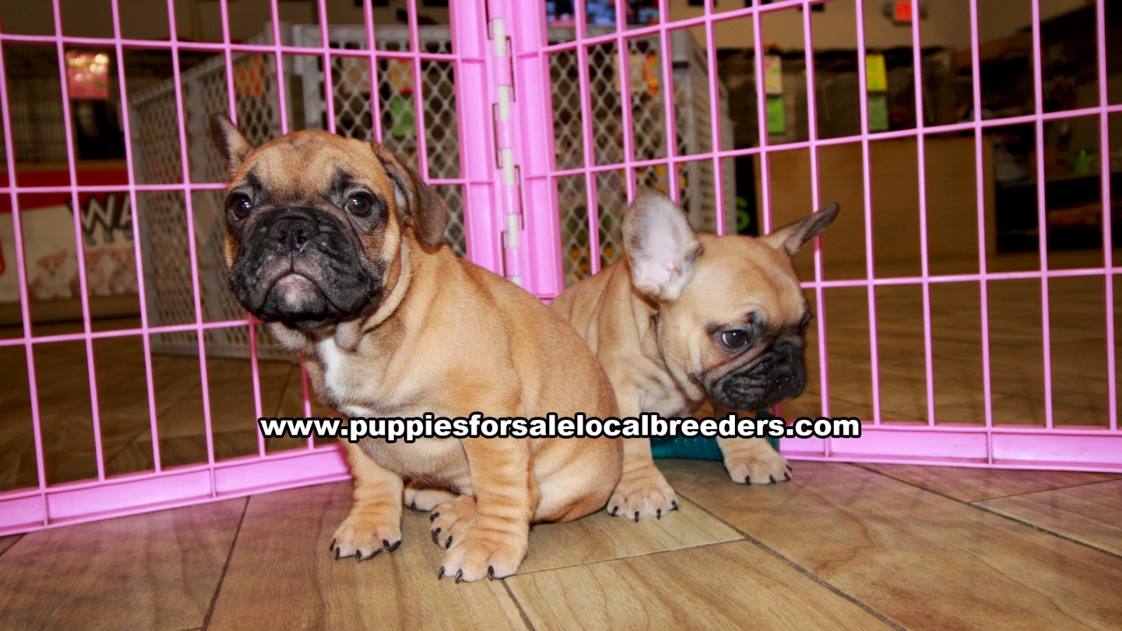 Fawn French Bulldog, Puppies For Sale In Georgia, Local Breeders, Near Atlanta, Ga
