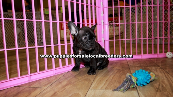 Brindle French Bulldog Puppies for sale in Georgia Ga (2)