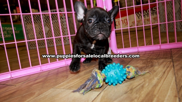 Brindle French Bulldog Puppies for sale in Georgia Ga (3)