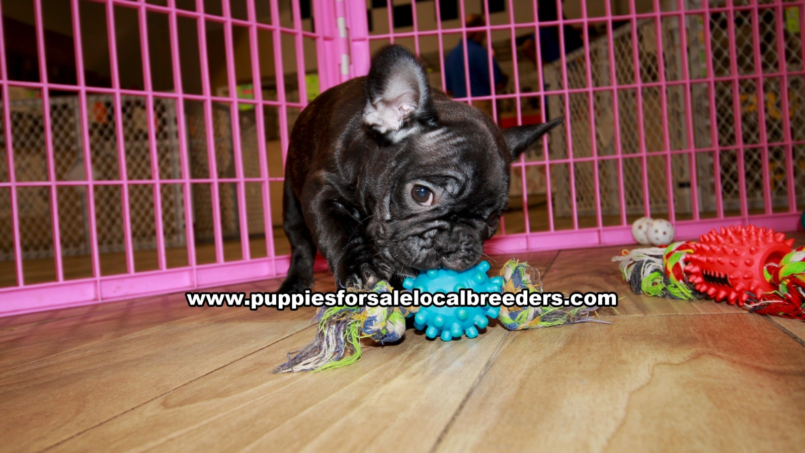 Brindle French Bulldog, Puppies For Sale In Georgia, Local Breeders, Near Atlanta, Ga
