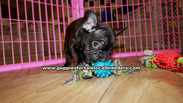 Brindle French Bulldog Puppies for sale in Georgia Ga (9)
