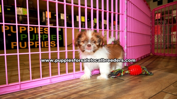 Shih Tzu Puppies for sale in Georgia Ga (2)