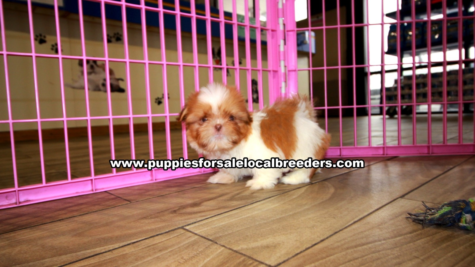 Small Shih Tzu, Puppies For Sale In Georgia, Local Breeders, Near Atlanta, Ga