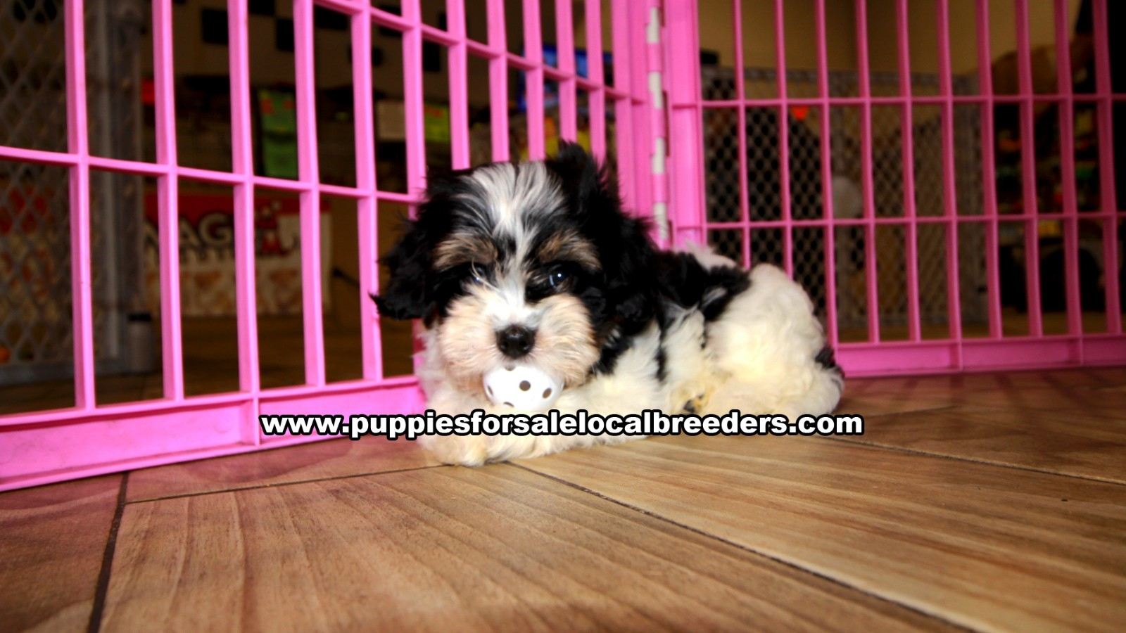 Tri Color Cavachon, Puppies For Sale In Georgia, Local Breeders, Near Atlanta, Ga
