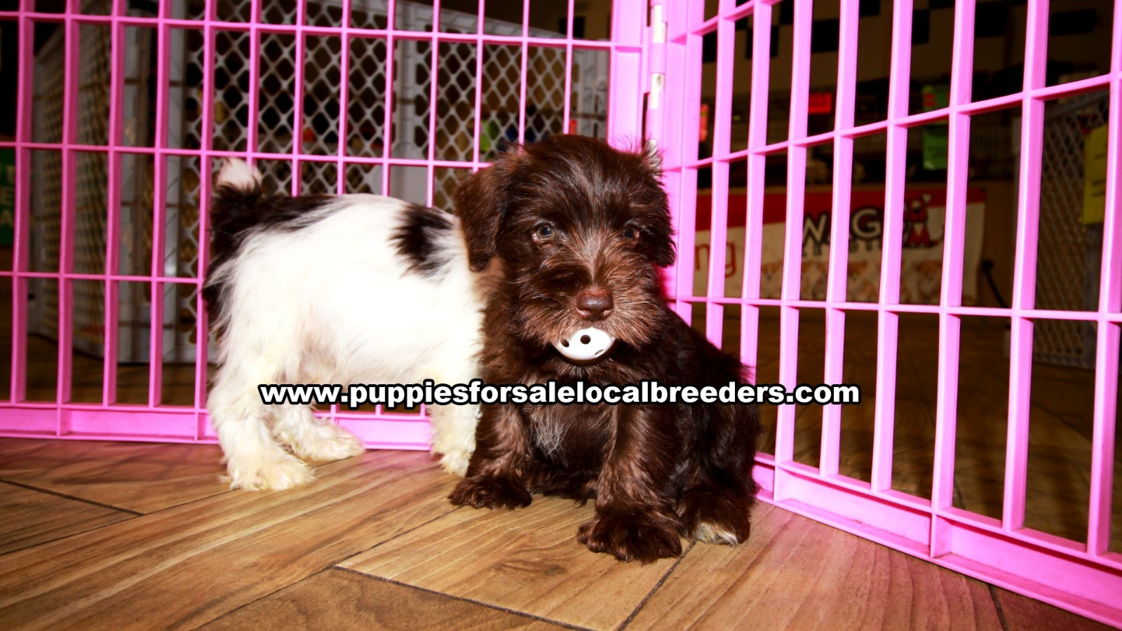 Chocolate Mini Schnauzer, Puppies For Sale In Georgia, Local Breeders, Near Atlanta, Ga