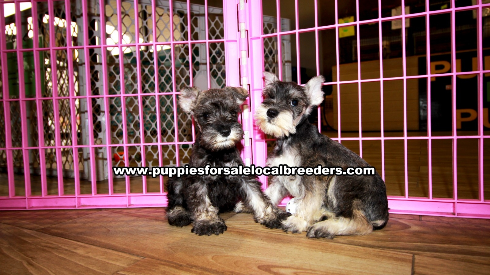 Salt & Pepper Mini Schnauzer, Puppies For Sale In Georgia, Local Breeders, Near Atlanta, Ga