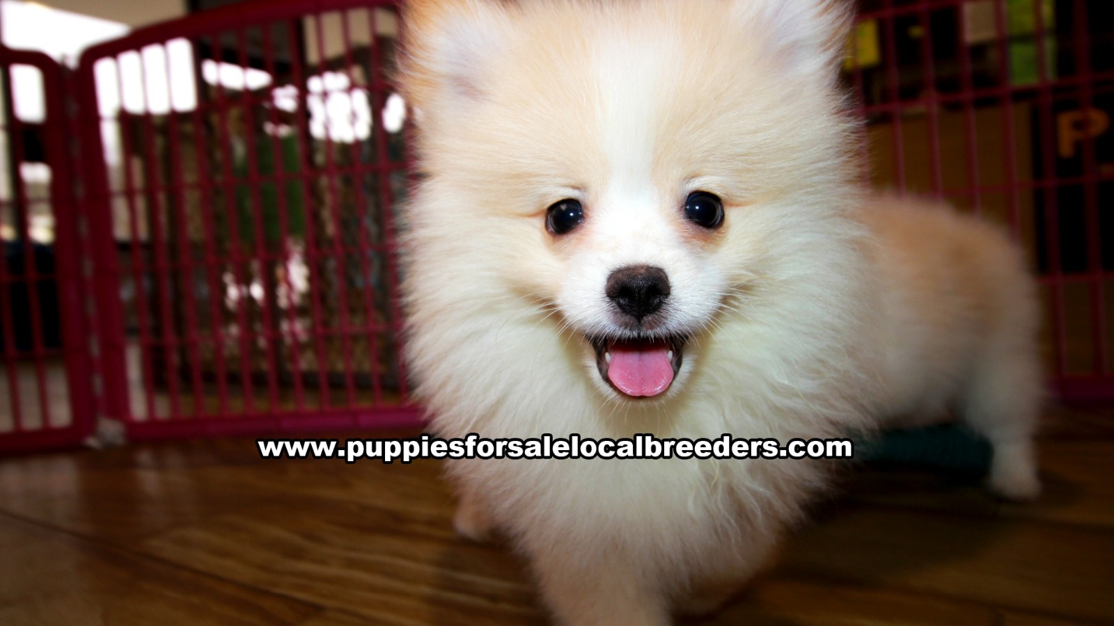 Cream Pomeranian, Puppies For Sale In Georgia, Local Breeders, Near Atlanta, Ga