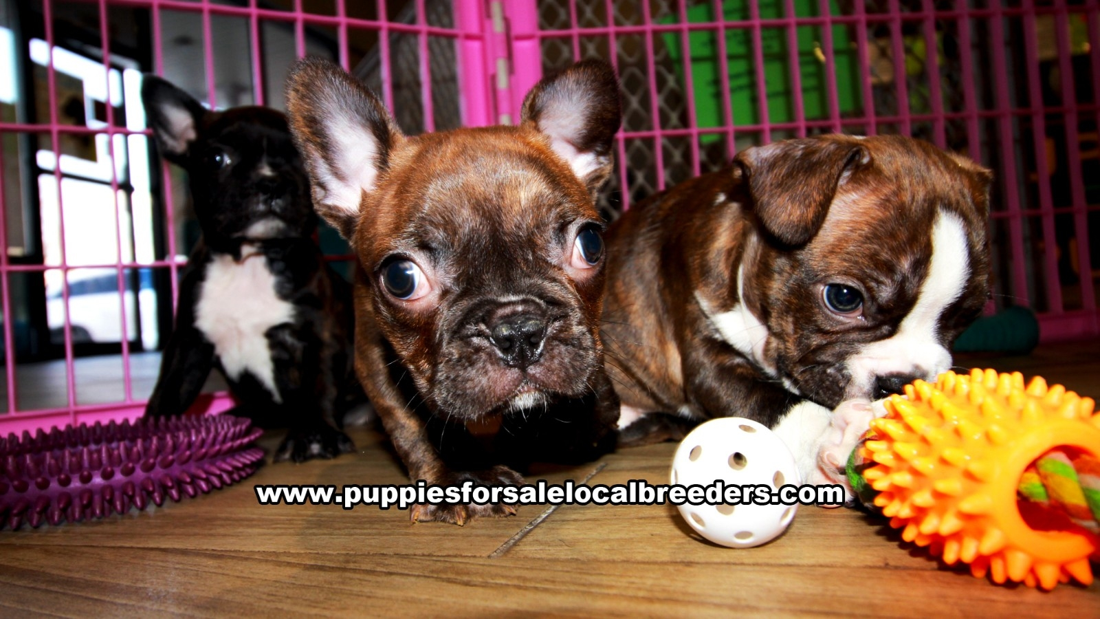 Brindle Frenchton, Puppies For Sale In Georgia, Local Breeders, Near Atlanta, Ga