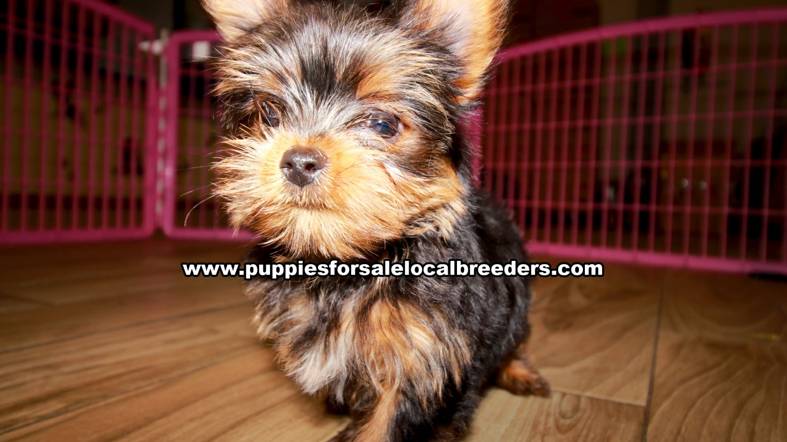 Teacup Yorkie, Puppies For Sale In Georgia, Local Breeders, Near Atlanta, Ga