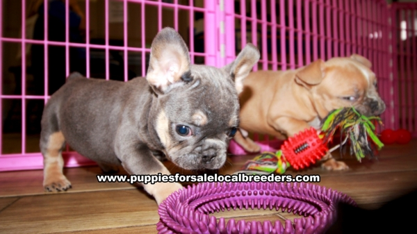 Blue and Tan French Bulldog, Puppies For Sale In Georgia, Local Breeders, Near Atlanta, Ga