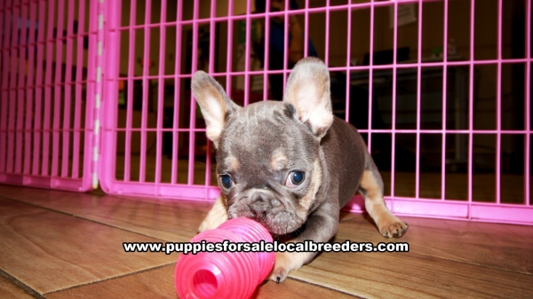 Blue and Tan French Bulldog Puppies for sale in Georgia Ga 3-5 (12)