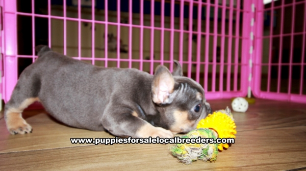 Blue and Tan French Bulldog Puppies for sale in Georgia Ga 3-5 (13)