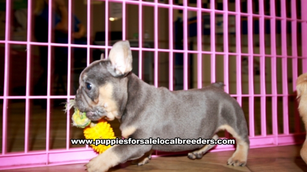 Blue and Tan French Bulldog Puppies for sale in Georgia Ga 3-5 (15)