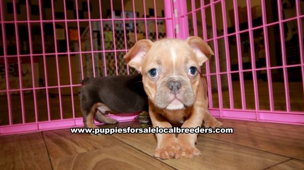 Blue and Tan French Bulldog Puppies for sale in Georgia Ga 3-5 (2)