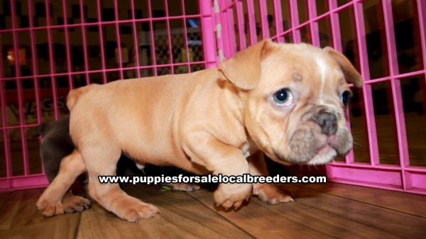 Blue and Tan French Bulldog Puppies for sale in Georgia Ga 3-5 (3)