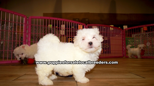 Maltese Puppies for sale in Georgia Ga 3-20 (2)