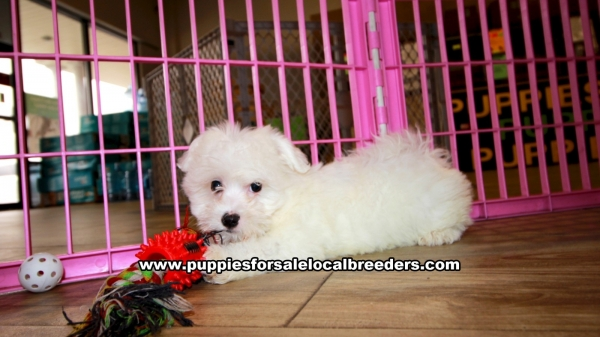 Maltese Puppies for sale in Georgia Ga 3-20 (3)