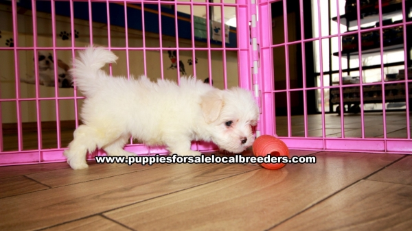 Maltese Puppies for sale in Georgia Ga 3-20 (5)