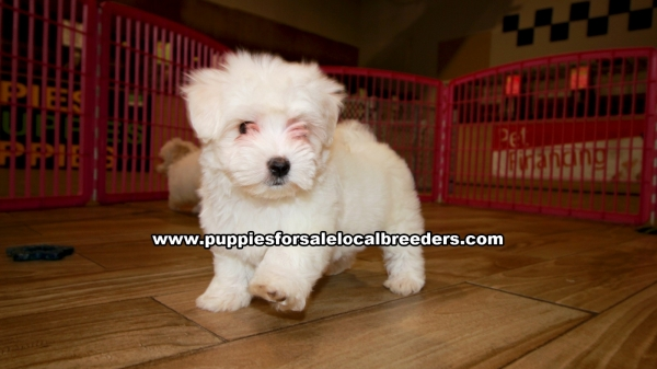 Maltese, Puppies For Sale In Georgia, Local Breeders, Near Atlanta, Ga