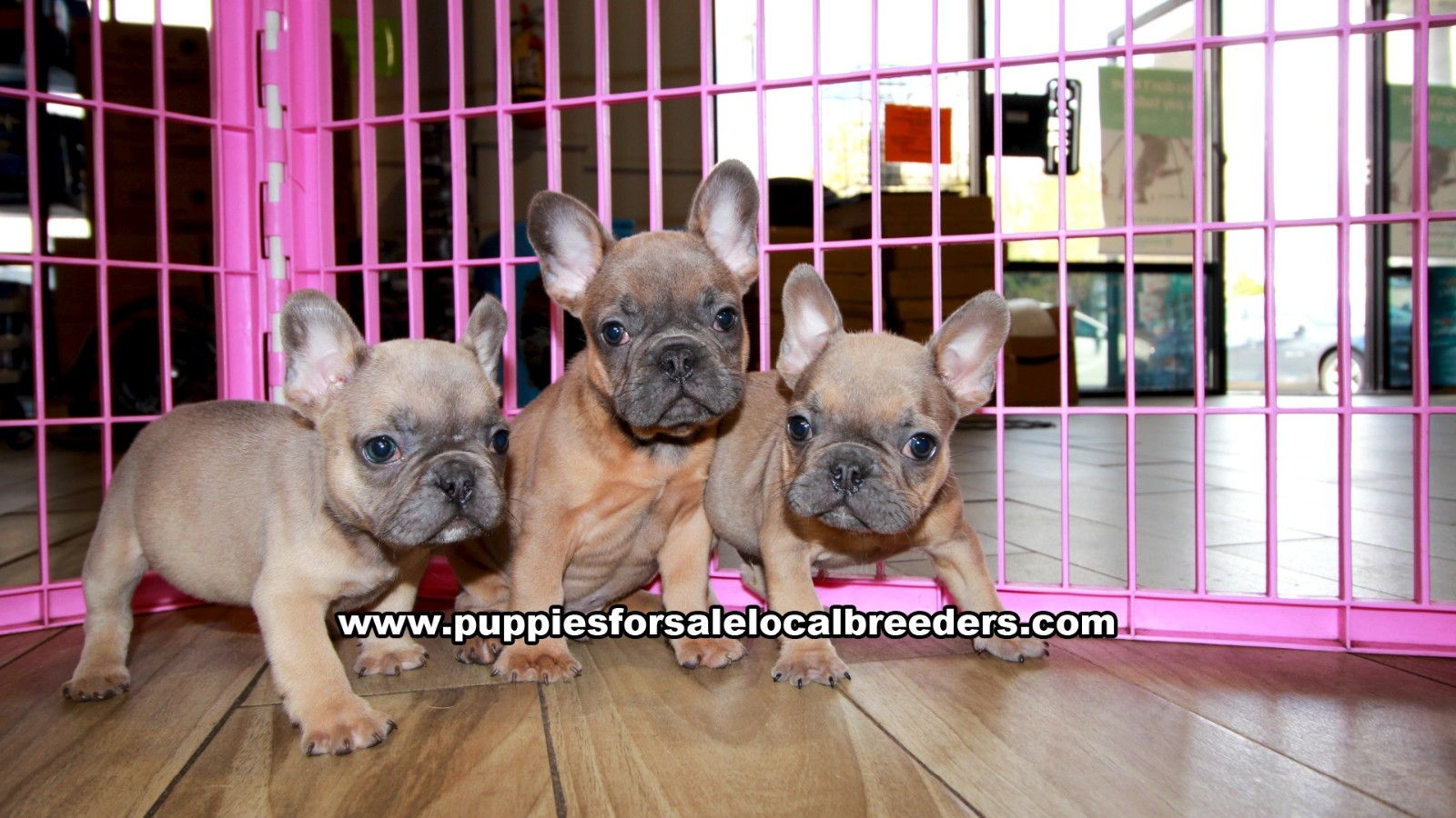 French Bulldog, Puppies For Sale In Georgia, Local Breeders, Near Atlanta, Ga
