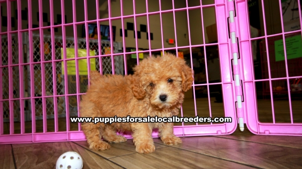 Apricot Poodle Puppies for sale in Georgia Ga 3-19 (2)