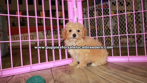 Apricot Poodle Puppies for sale in Georgia Ga 3-19 (3)
