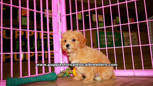 Apricot Poodle Puppies for sale in Georgia Ga 3-19 (6)