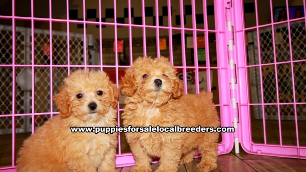 Apricot Poodle Puppies for sale in Georgia Ga 3-19 (7)
