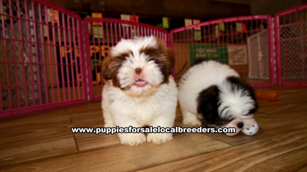 Shih Tzu Puppies for sale in Georgia Ga 3-19 (1)