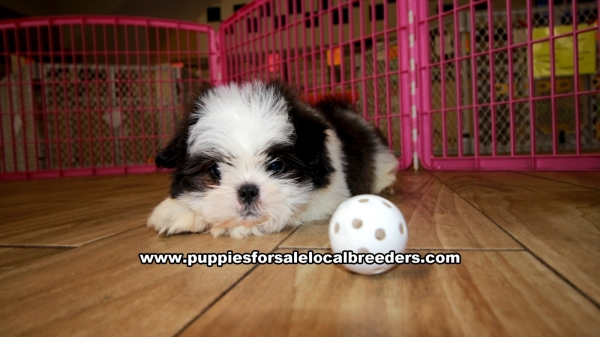 Shih tzu, Puppies For Sale In Georgia, Local Breeders, Near Atlanta, Ga