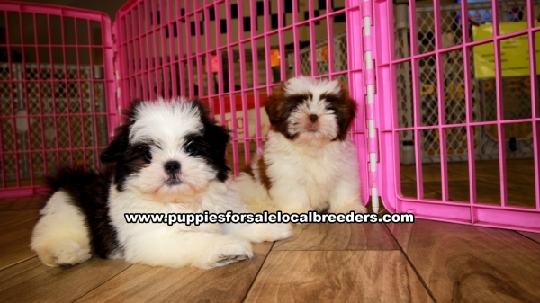 Shih Tzu Puppies for sale in Georgia Ga 3-19 (4)