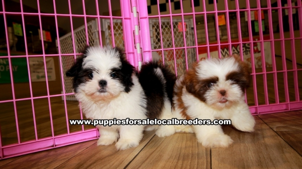 Shih Tzu Puppies for sale in Georgia Ga 3-19 (6)