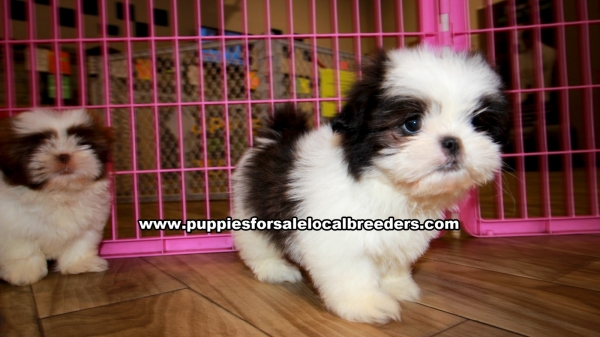 Shih Tzu Puppies for sale in Georgia Ga 3-19 (7)