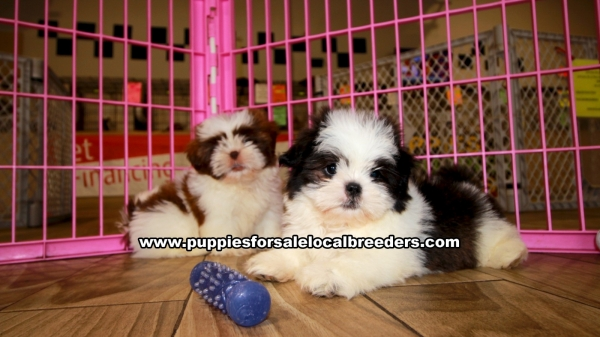Shih Tzu Puppies for sale in Georgia Ga 3-19 (8)