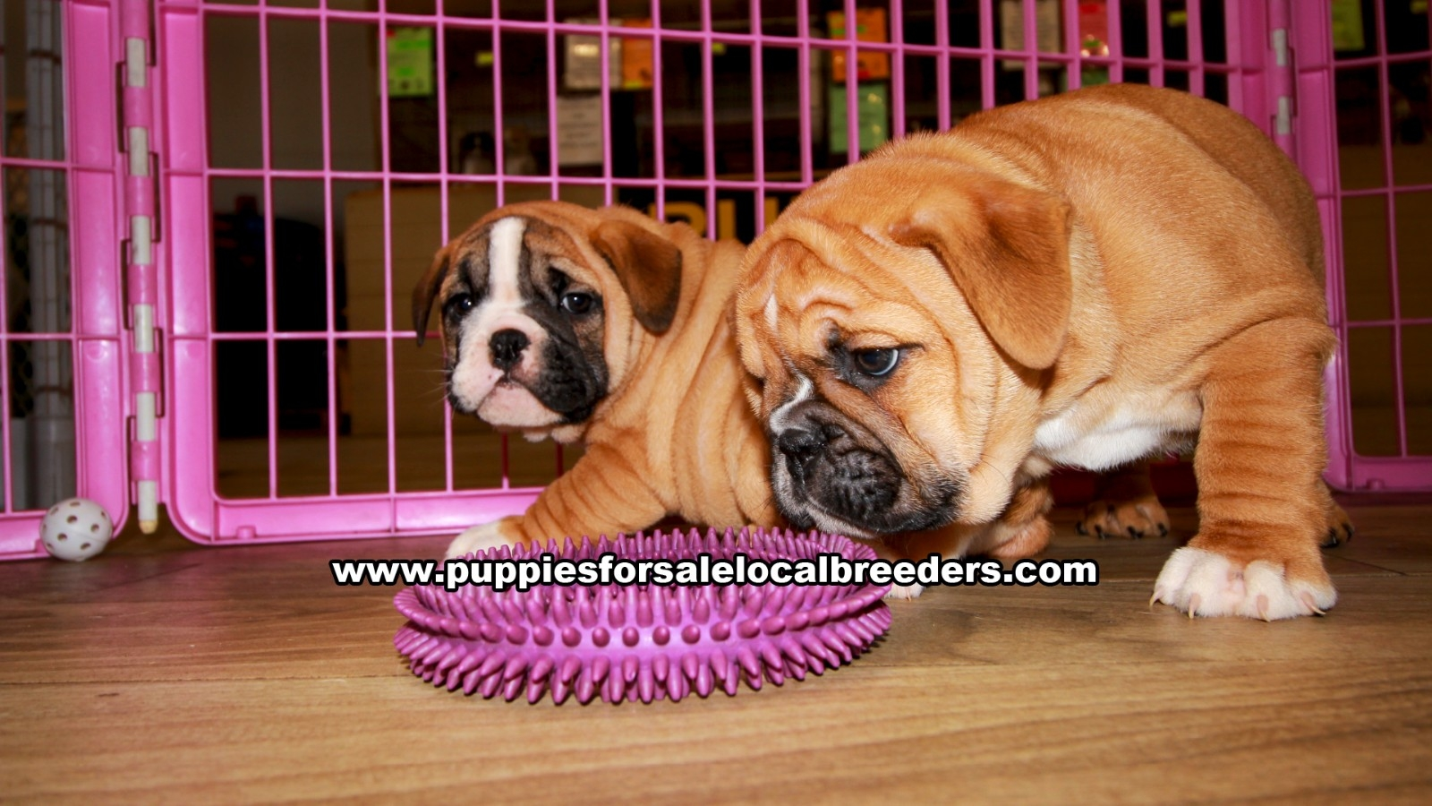 English Bulldog, Puppies For Sale In Georgia, Local Breeders, Near Atlanta, Ga