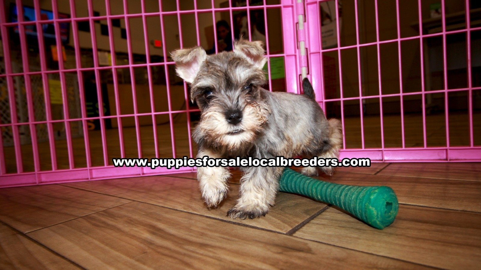 Mini Schnauzer, Puppies For Sale In Georgia, Local Breeders, Near Atlanta, Ga