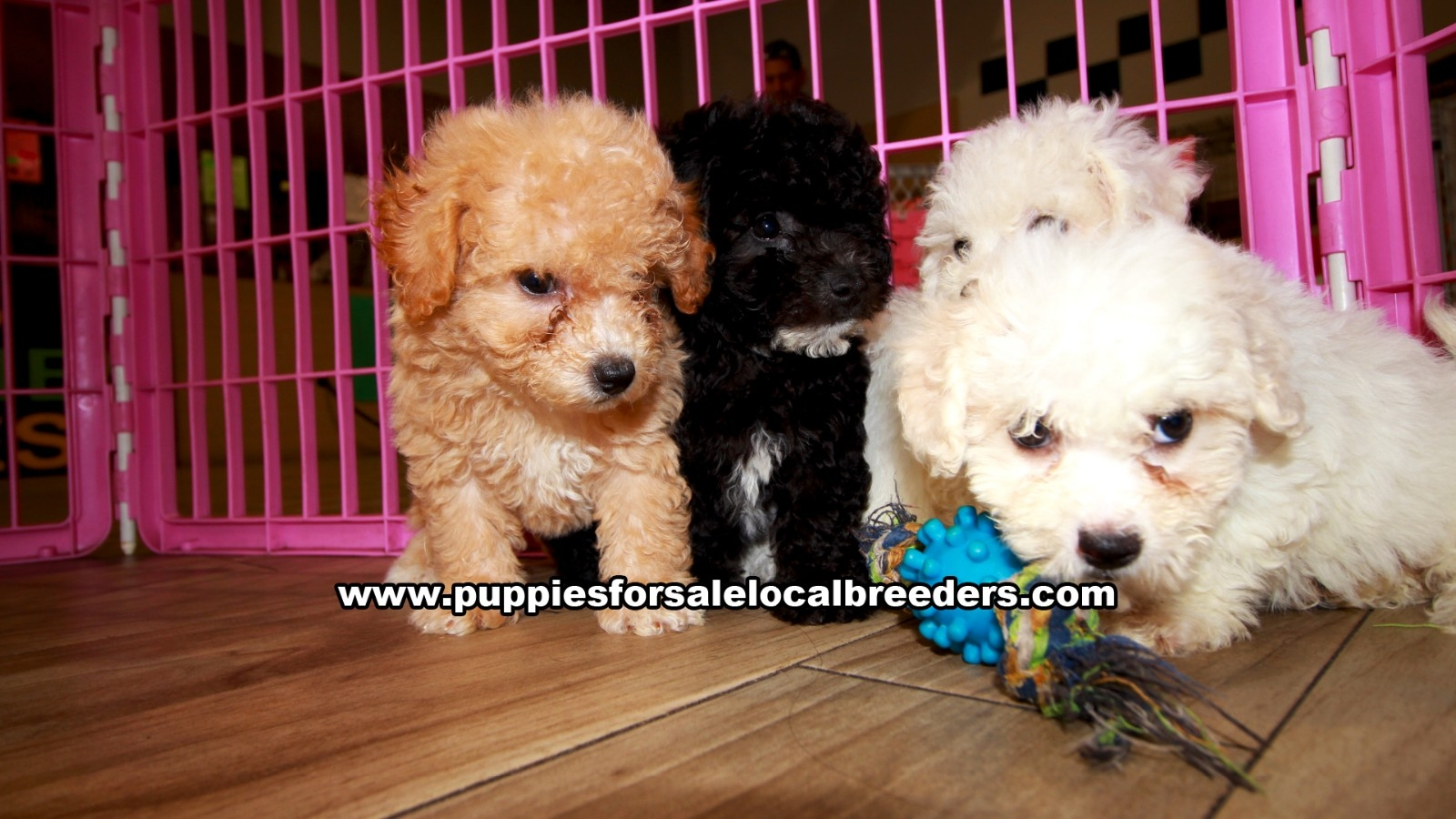 Bichon Poo, Puppies For Sale In Georgia, Local Breeders, Near Atlanta, Ga