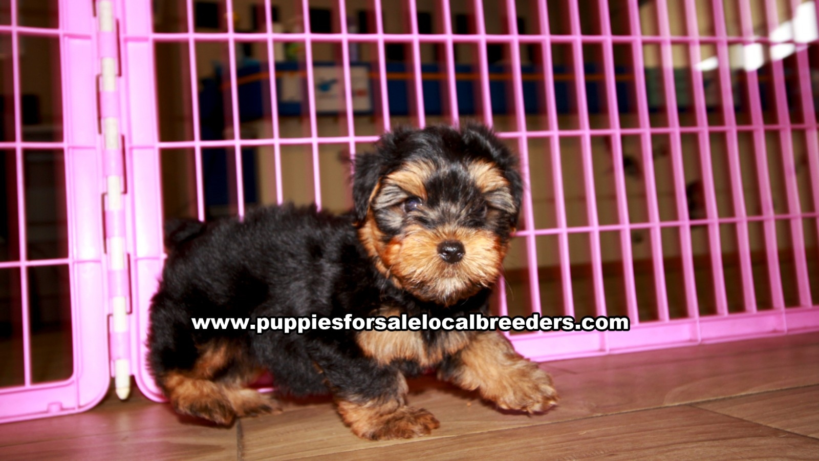 Yorkie Poo, Puppies For Sale In Georgia, Local Breeders, Near Atlanta, Ga