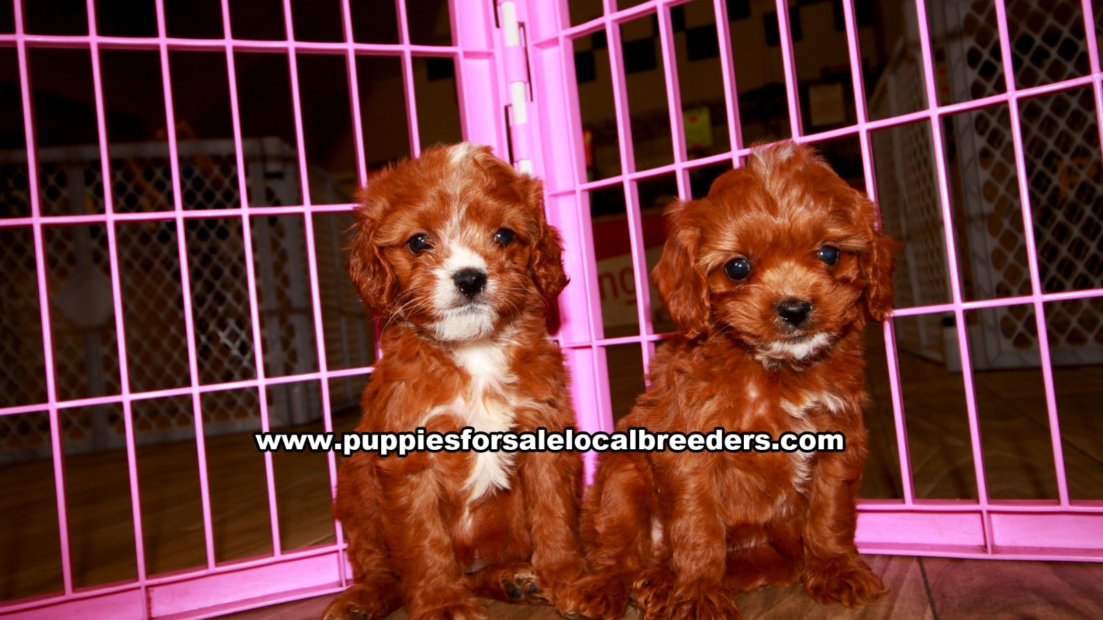 Cavapoo, Puppies For Sale In Georgia, Local Breeders, Near Atlanta, Ga